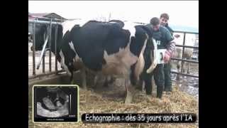 L'insémination bovine à Eliacoop