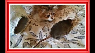 ДИКАЯ КРЫСА ЗНАКОМИТСЯ С КОШКОЙ Канал про животных Крысы домашние видео