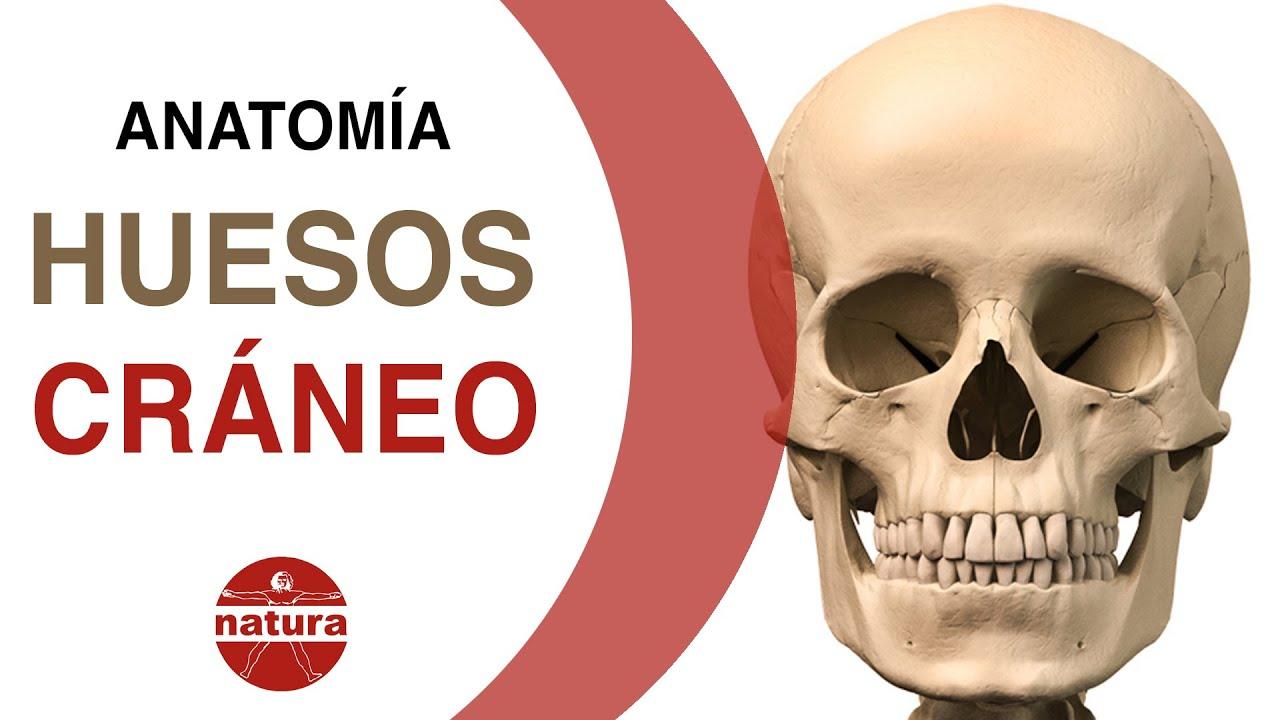 Clase de anatomia. La cabeza ósea. Huesos del cráneo. Natura escuela ...