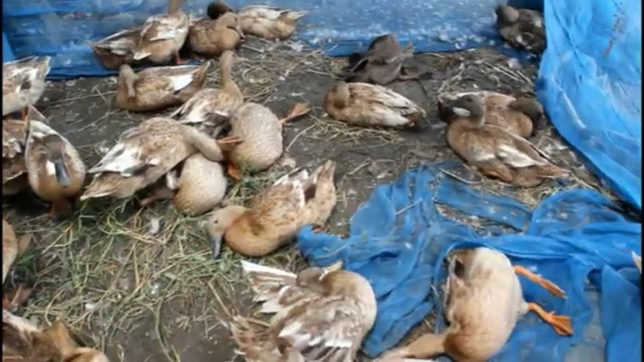 Download নিয়ম না মেনে হাঁস পালন করে লস ,যে ভুল করছেন খামারি ,duck farming in bangladesh,has palon,