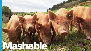 scientists-successfully-revive-brain-cells-dead-pigs