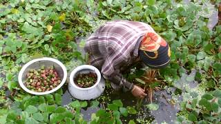 Water Chestnut Farming Project || Water Caltrop Cultivation in Bangladesh