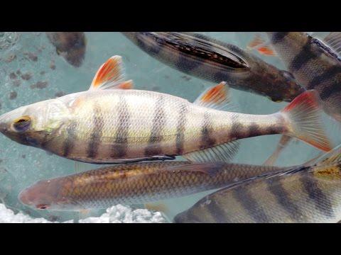 Самая дешевая, уловистая прикормка для рыбы