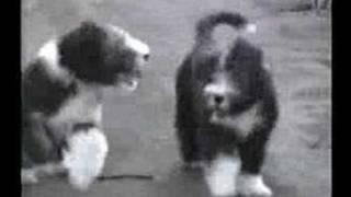 ルナ・ケンゾーの愛犬オスカー&ヘンリー。ビアデッド・コリー、 Bearde...