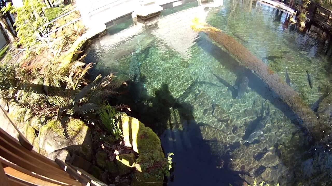White sturgeon and salmon fish tank bonneville fish for Fish tank vs pond