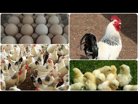 8  Адлерская серебристая порода кур в моём хозяйстве