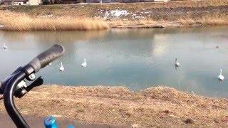 白鳥の川  多賀城駅前の砂押川の様子です  白鳥5羽の演舞が素晴らしいです