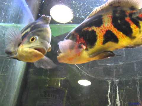 Хищные аквариумные рыбки бодаются
