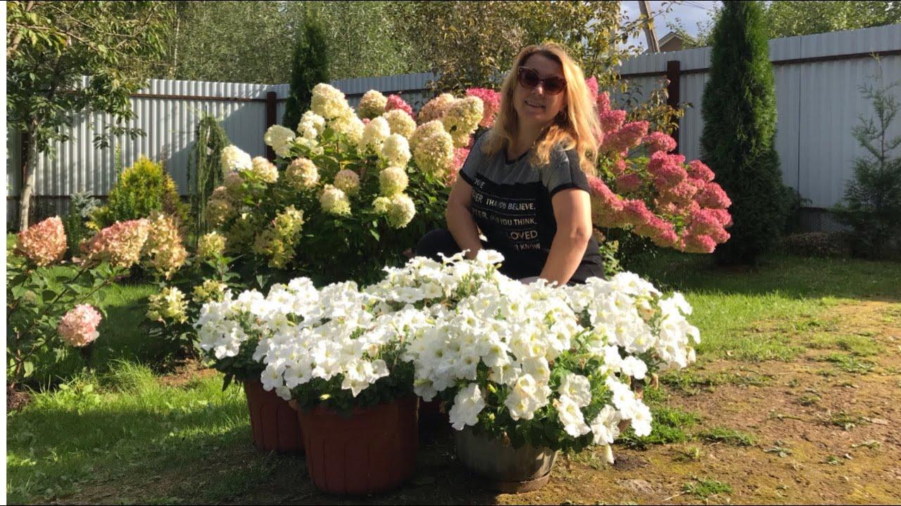 Моя любимая дача 12.09.2020 г. Повторное цветение петуний.❤️В чем секрет?Королевы сада-гортензии.❤️
