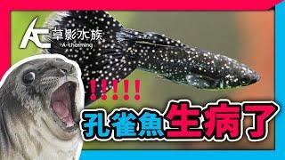 【養魚醫生】我的孔雀魚到底生什麼病?帶你了解孔雀魚6種疾病|AC草影水族