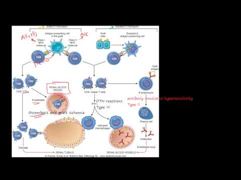 83P - Transplant rejection - Immunological basis and explanation, MHC, CD4+, CD8+, T cell