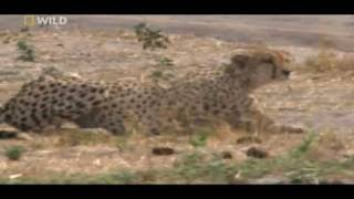 cheetahs huntings warthog .(watch in HD)