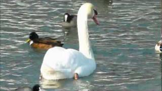 Swan Lake: Fulda River - Kassel, Germany - February 2012