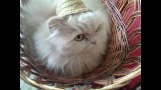 Кошка  в коробке. Видео приколы с котами, cat video funny.