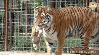 Тигрица Скарлетт снова принесла показать малыша! Тайган Tigress Scarlett again brought to show cub!