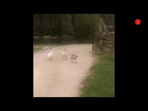 """Las ocas """"malhumoradas"""" de la villa alaricana"""