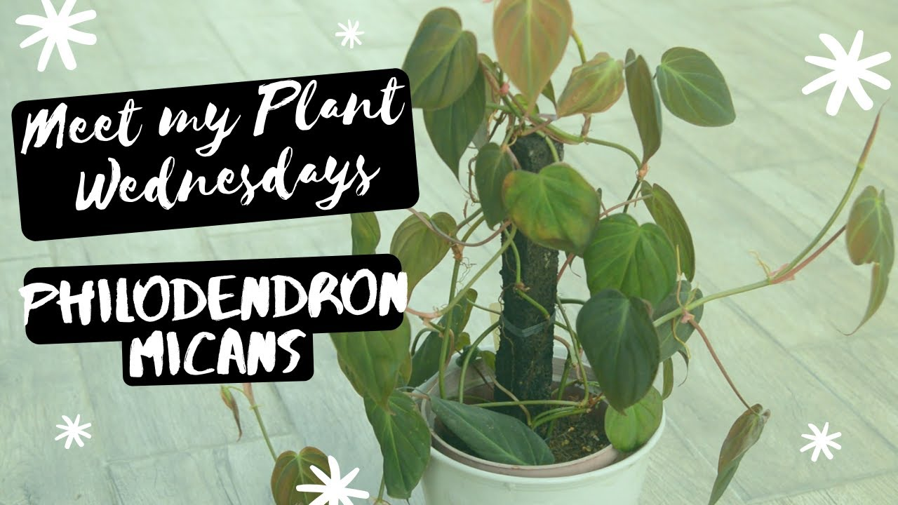 Meet My Plant Philodendron Micans Ep 01 Youtube The foliage looks different according to. meet my plant philodendron micans ep 01