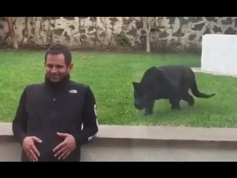 Black Panther Sneaks Up On Unsuspecting Man
