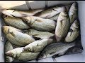 White Bass FEEDING FRENZY fishing with Kastmaster Lure