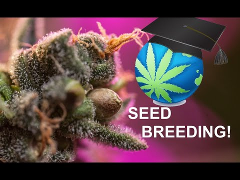 How To MAKE Feminized Seeds – Colloidal Silver & Rodelization – Cannabis
