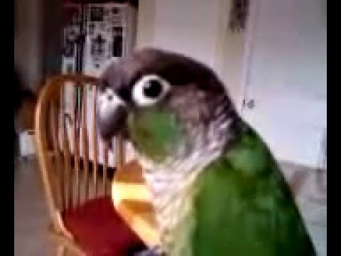 Green Cheek Conure Talking