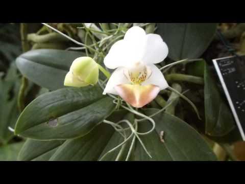 Wisley Garden 2014 - Moth orchids - Phalaenopsis - Orkídea blóm
