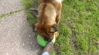 English Mastiff Rottweiler Cross Killing His New Ball