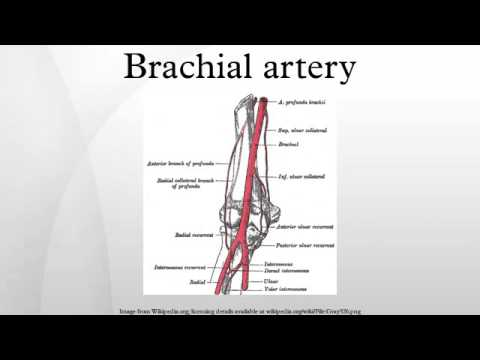 Brachial Artery Youtube