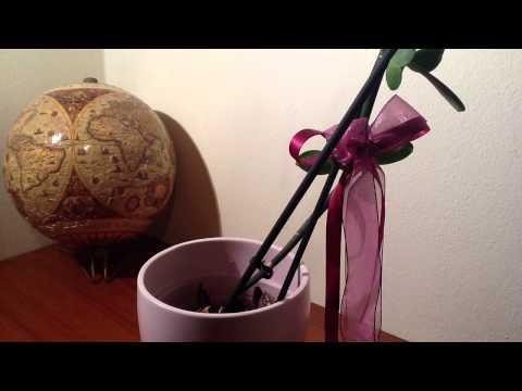 Уход за орхидеей цимбидиум — Клуб любителей орхидей