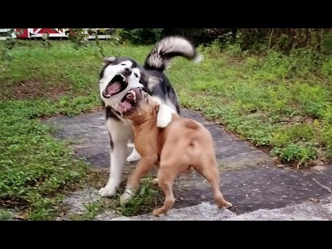 Dog Fight! 110lb Alaskan Malamute takes on 80lb Pitbull