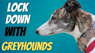 Lockdown with Greyhounds