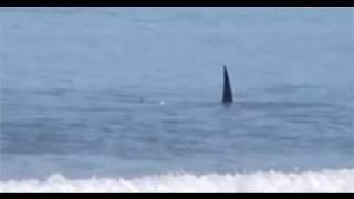 Seltenes Naturschauspiel: Killerwal greift Haie an