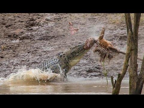 crocodile attack human