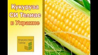 Кукуруза СИ Телиас в Украине