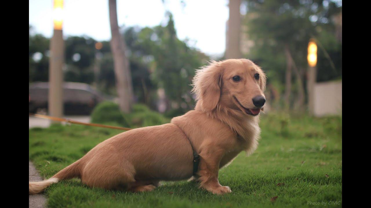 ★★★★★[朝隈俊男] Animal Life狗瑜珈大師系列介紹 - 臘腸犬(六師妹) | AS Toy Blog | 大娛樂家 - fanpiece