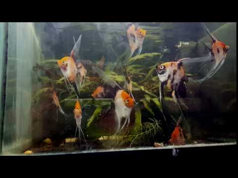 Koi Pearlscale Angelfish Juveniles