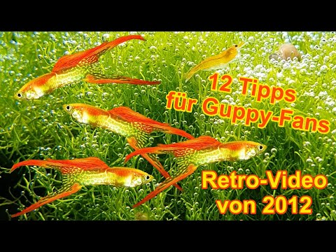 hd guppys 12 tipps f r zucht pflege haltung dokumentation aquarium fische guppy youtube. Black Bedroom Furniture Sets. Home Design Ideas