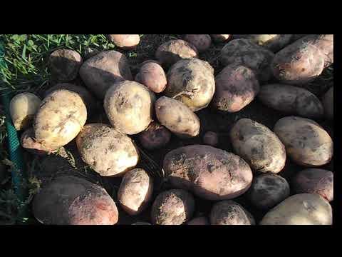 Копаю картошку под лопату. Картофель сорт Уладар и сорт Вектор. Посев горчицы от проволочника.