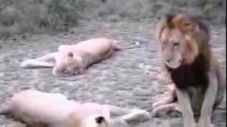 Спаривание львов, все довольны!