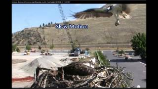 IRIS & HUNGRY INTRUDER, AUG 9, 2015 ~ HELLGATE CANYON OSPREYS