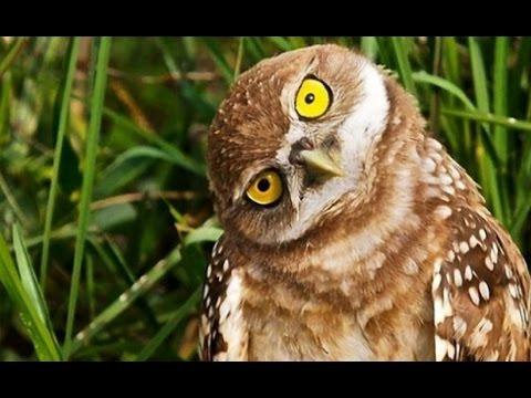 Смешная сова!!! смотреть онлайн видео от krechet1978 в
