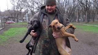 Питбультерьер. Щенки 4 мес. Puppies 4 months. Pitbull Terrier.