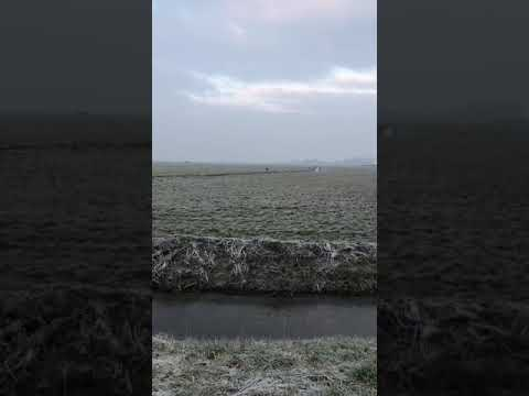 Wolf in de polder