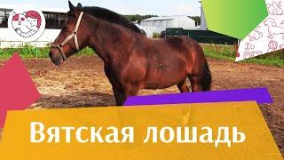 Вятская лошадь на  ilikepet