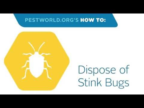 How to Dispose of a Stink Bug