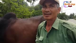 """Cách phối giống bò lai nhanh 1' 30 """" của người Bình Dương ( sđt : 098 653 44 59 ) - Gia Hân vlog"""