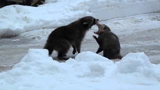 Raccoon & opossum fight