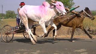 Horse and Bull cart Race Sulebhavi.Part 1,genus equus bos.paard en stier race.