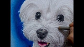 Maltese Speed Draw - My dog