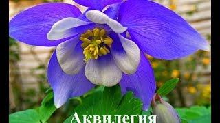 Теневыносливые растения для дачи: многолетние тенелюбивые цветы, фото и видео